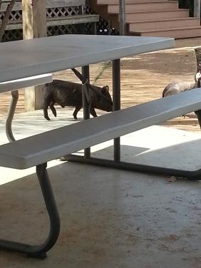Piggy picnic